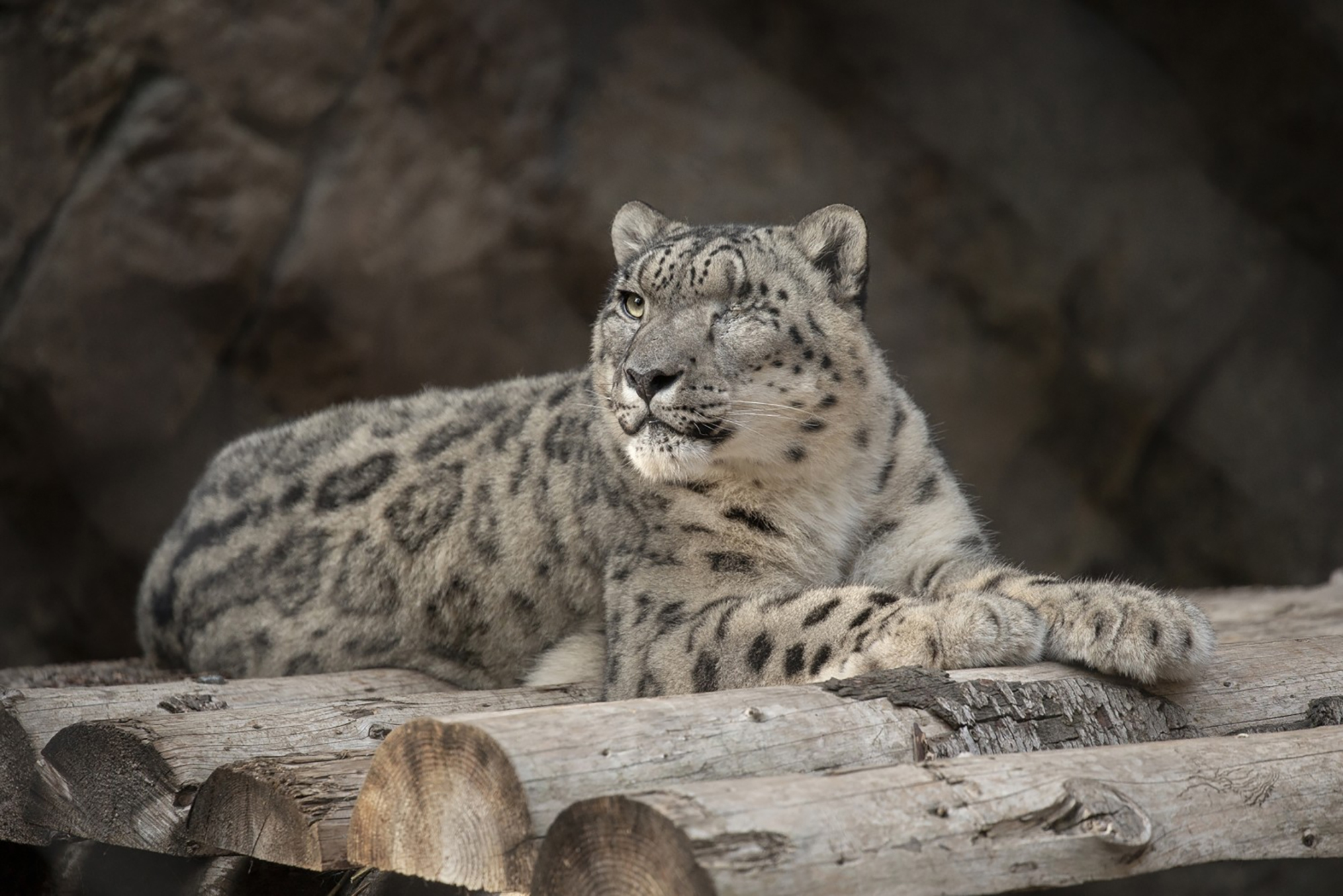 In this Oct. 10. 2019, photo, provided by the San Diego Zoo Wildlife Alliance, Ramil, a male snow leopard, rests at the San Diego Zoo in San Diego. Ramil was tested for the coronavirus after caretakers noticed that he had a cough and runny nose on Thursday, July 22, 2021. The animal's stool sample was tested by the zoo staff and at a state-level lab, both of which confirmed the presence of the coronavirus, the zoo said in a statement the following day. It's unclear how Ramil got infected. In 2017, veterinarians removed his left eye due to a chronic condition he already had when he arrived at the zoo. (Tammy Spratt/San Diego Zoo Wildlife Alliance via AP)