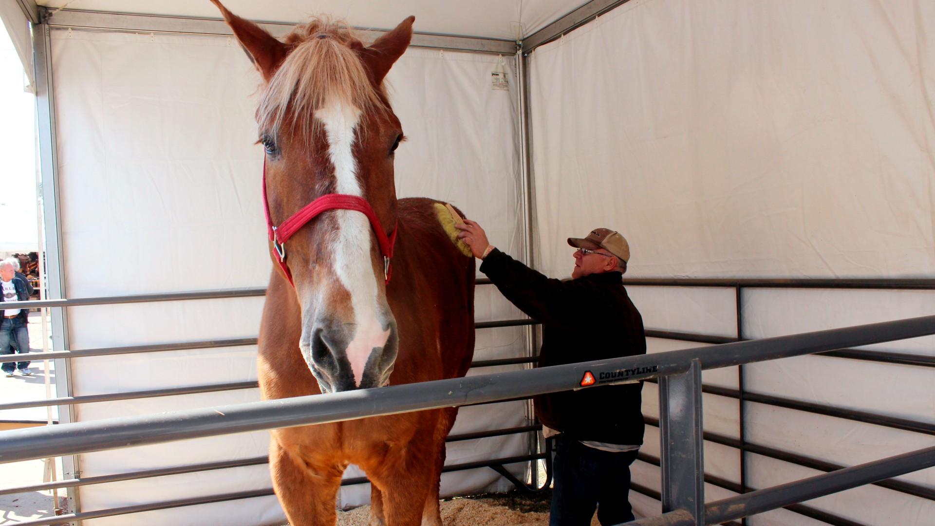 Jerry Gilbert brushes Big Jake at the Midwest Horse Fair in Madison, Wisc., in this Friday, April 11, 2014. (AP Photo/Carrie Antlfinger, File)