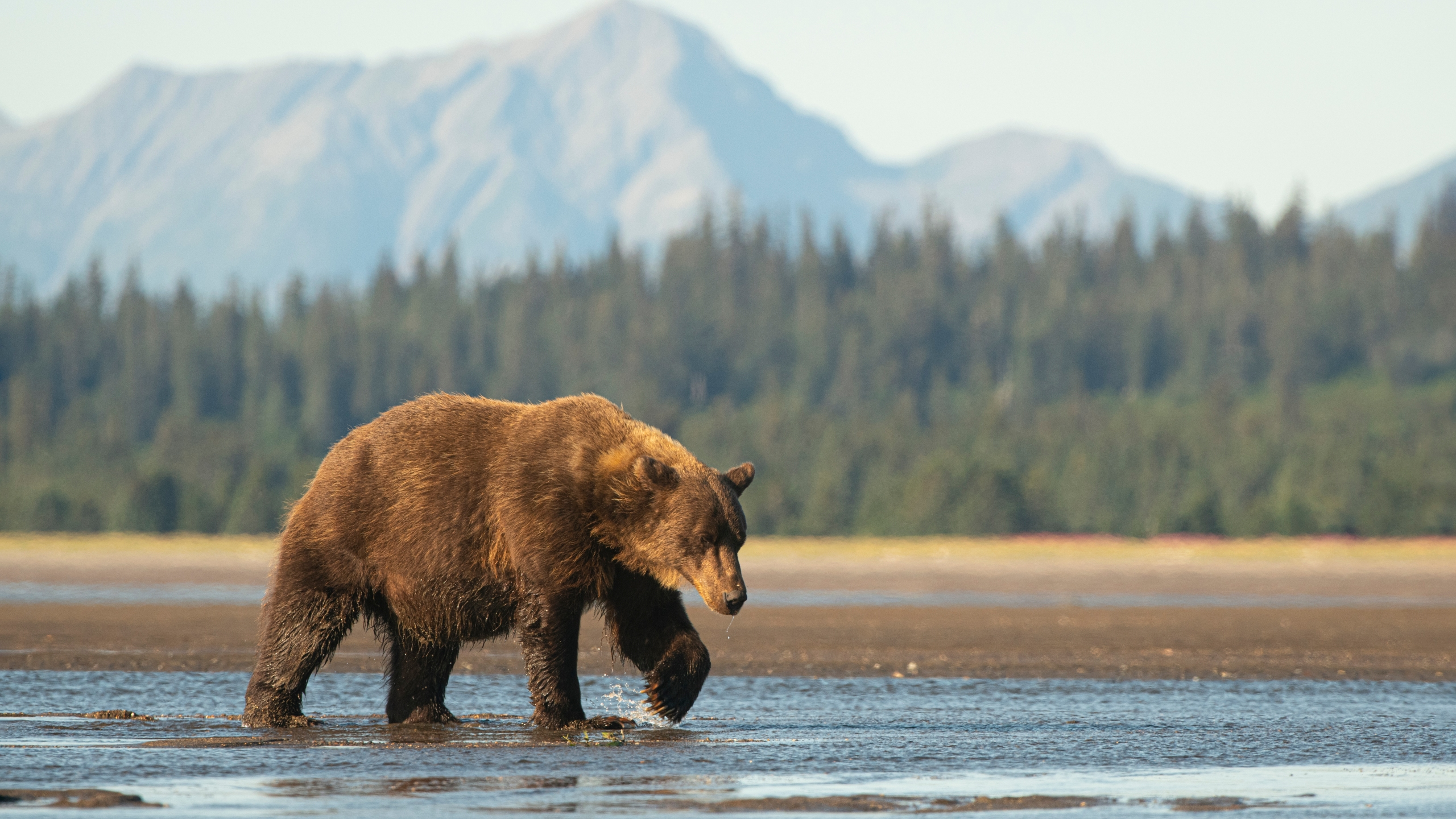 A large sow brown bear walks across the delta at the mouth of the Sargent River in Alaska. (Getty Images)