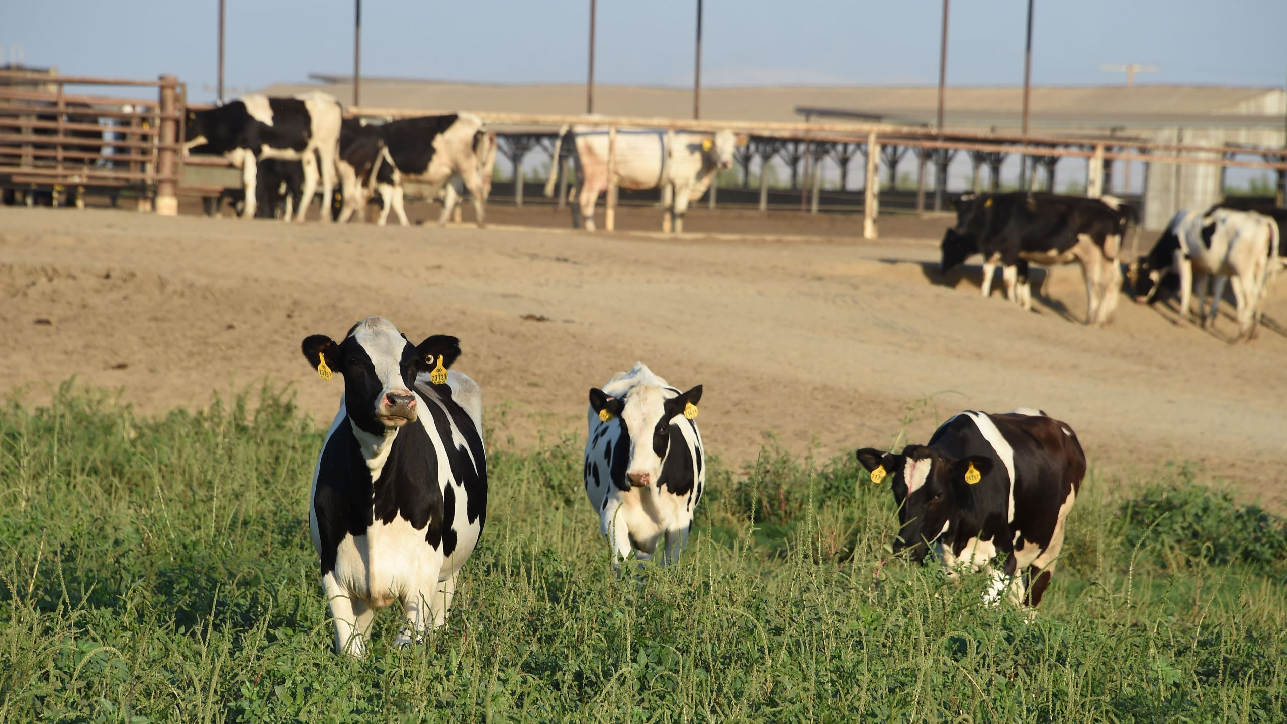 Cows graze at a dairy farm on August 24, 2016, in Porterville in California's Central Valley. (Robyn Beck/AFP via Getty Images)