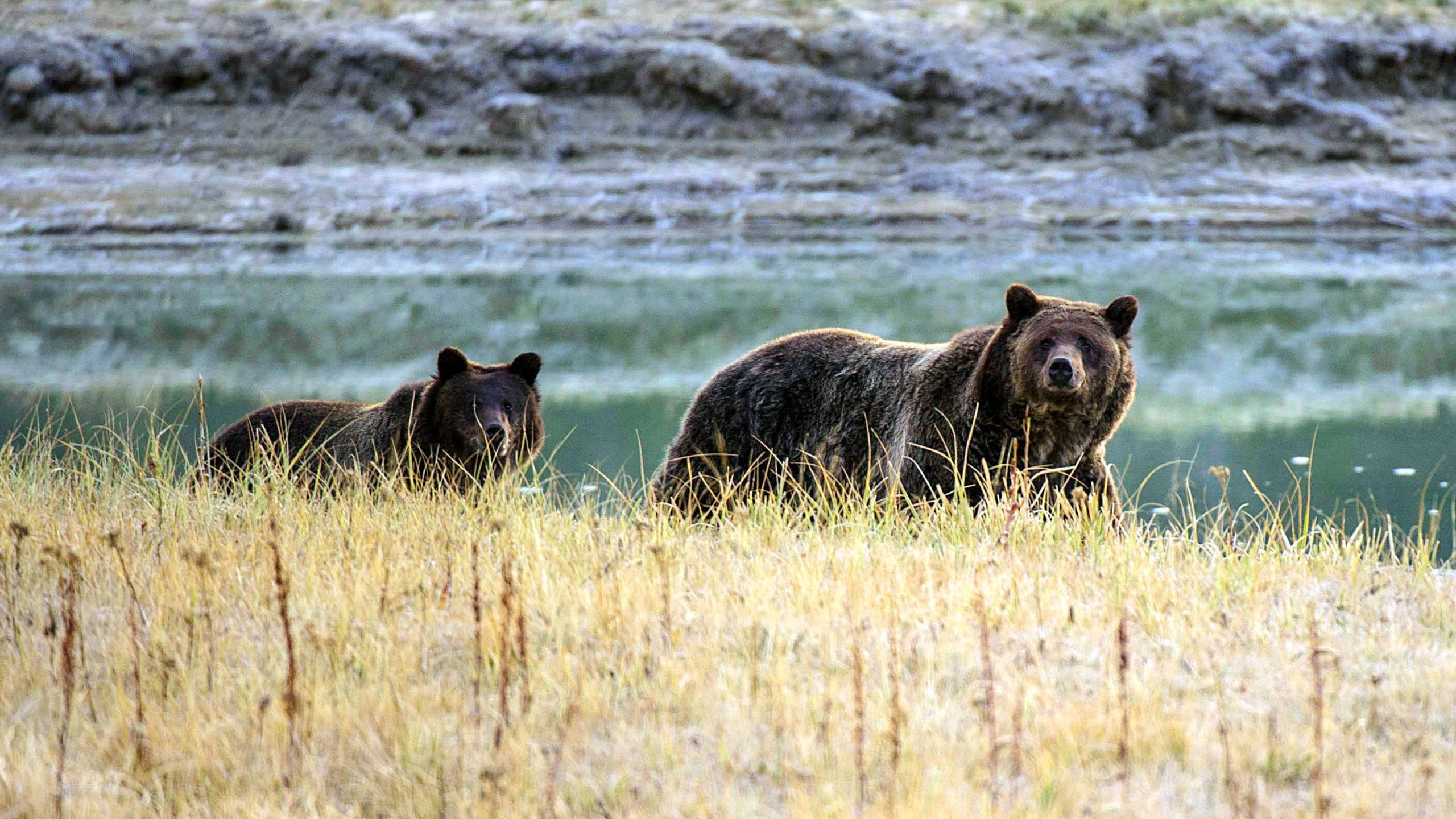 """Tourists at Yellowstone are instructed to remain 100 yards from bears at all times, and to """"never approach a bear to take a photo."""" (Karen Bleier/AFP via Getty Images)"""