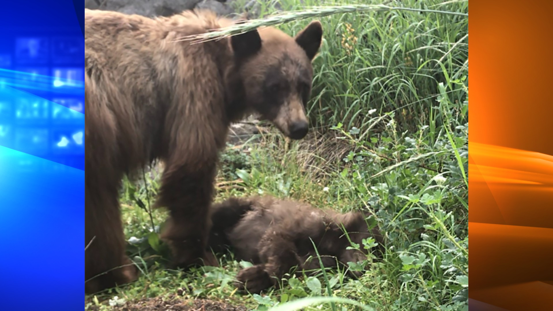 This photo of the dead bear cub and her mother was released by Yosemite National Park on July 16, 2021.