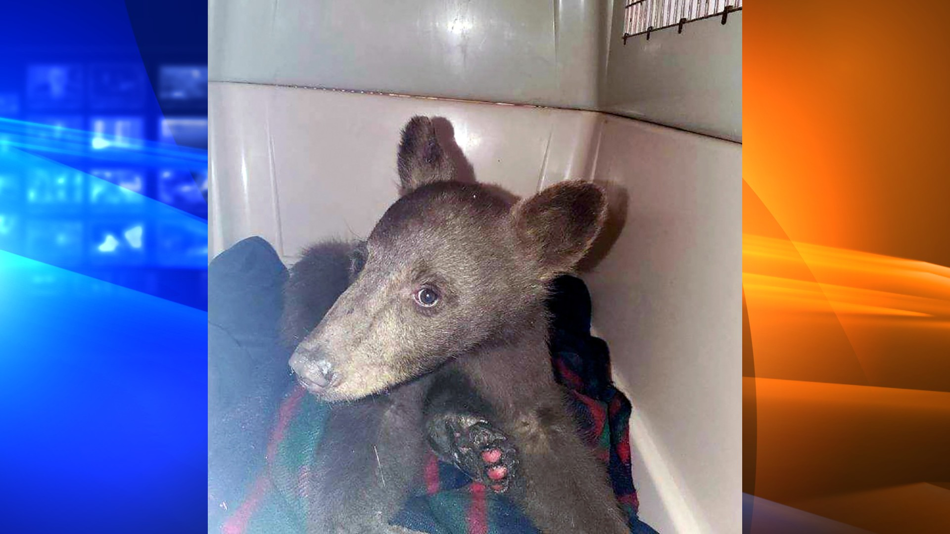 """In this July 25, 2021, photo provided by Lake Tahoe Wildlife Care is a bear cub that was taken in for treatment after it suffered burns in a California wildfire, to Lake Tahoe Wildlife Care in South Lake Tahoe, Calif. The staff at the care center has named him """"Tamarack"""" after the fire that burned through the Sierra south of Tahoe and into Nevada. They say he was underweight and dehydrated, but otherwise doing well. (Lake Tahoe Wildlife Care via AP)"""