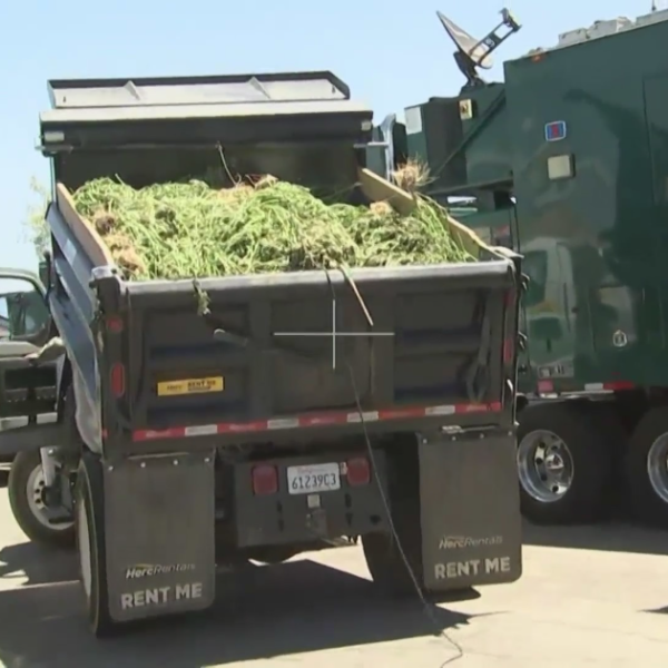 Marijuana seized during a major Los Angeles County Sheriff's Department bust in June 2021 is shown in an image shared by the agency on July 7, 2021.