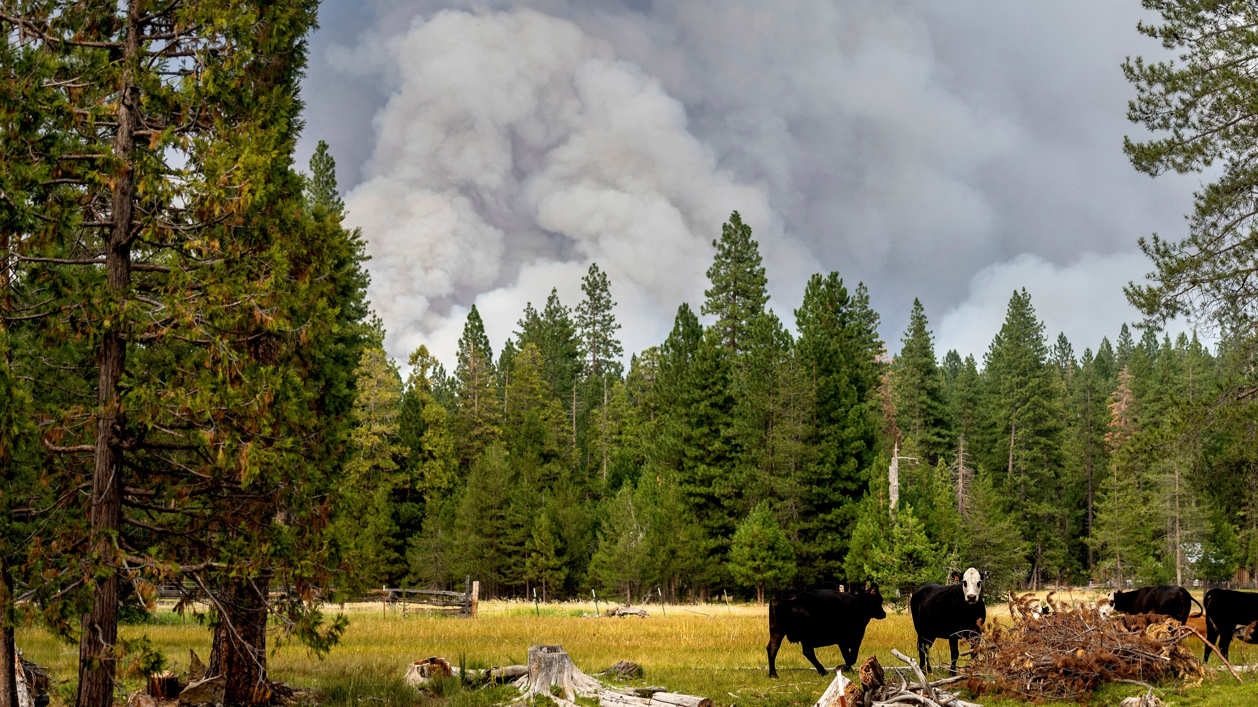In this Monday, July 26, 2021, file photo, cows graze as smoke rises from the Dixie Fire burning in Lassen National Forest, near Jonesville, Calif. A historic drought and recent heat waves tied to climate change have made wildfires harder to fight in the American West. (AP Photo/Noah Berger, File)