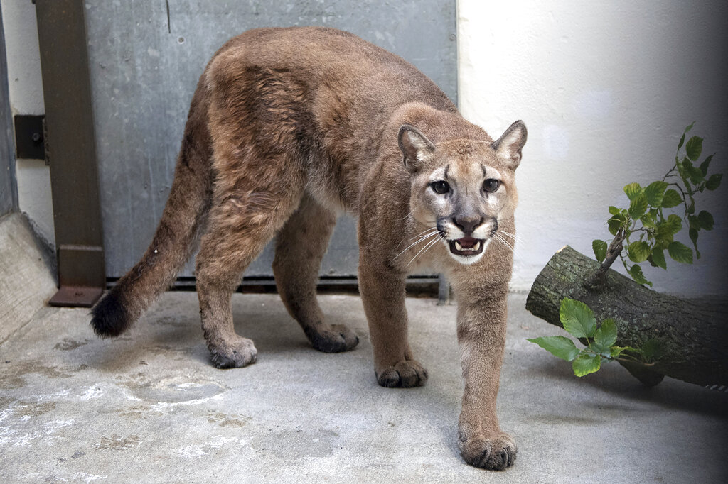 This photo provided by New York's Bronx Zoo shows an 11-month-old, 80-pound cougar that was removed from an apartment, in the Bronx borough of New York, where she was being kept illegally as a pet, animal welfare officials said Monday, Aug. 30, 2021. (Courtesy of The Bronx Zoo via AP)