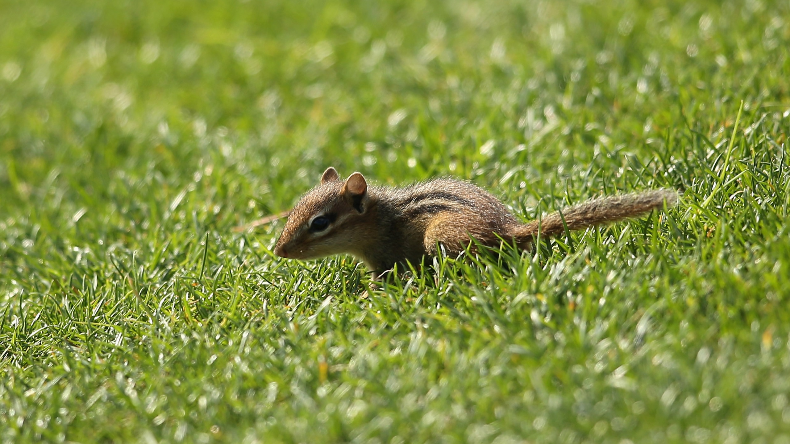 A chipmunk crosses is seen in Charlotte, North Carolina. (Richard Heathcote/Getty Images)