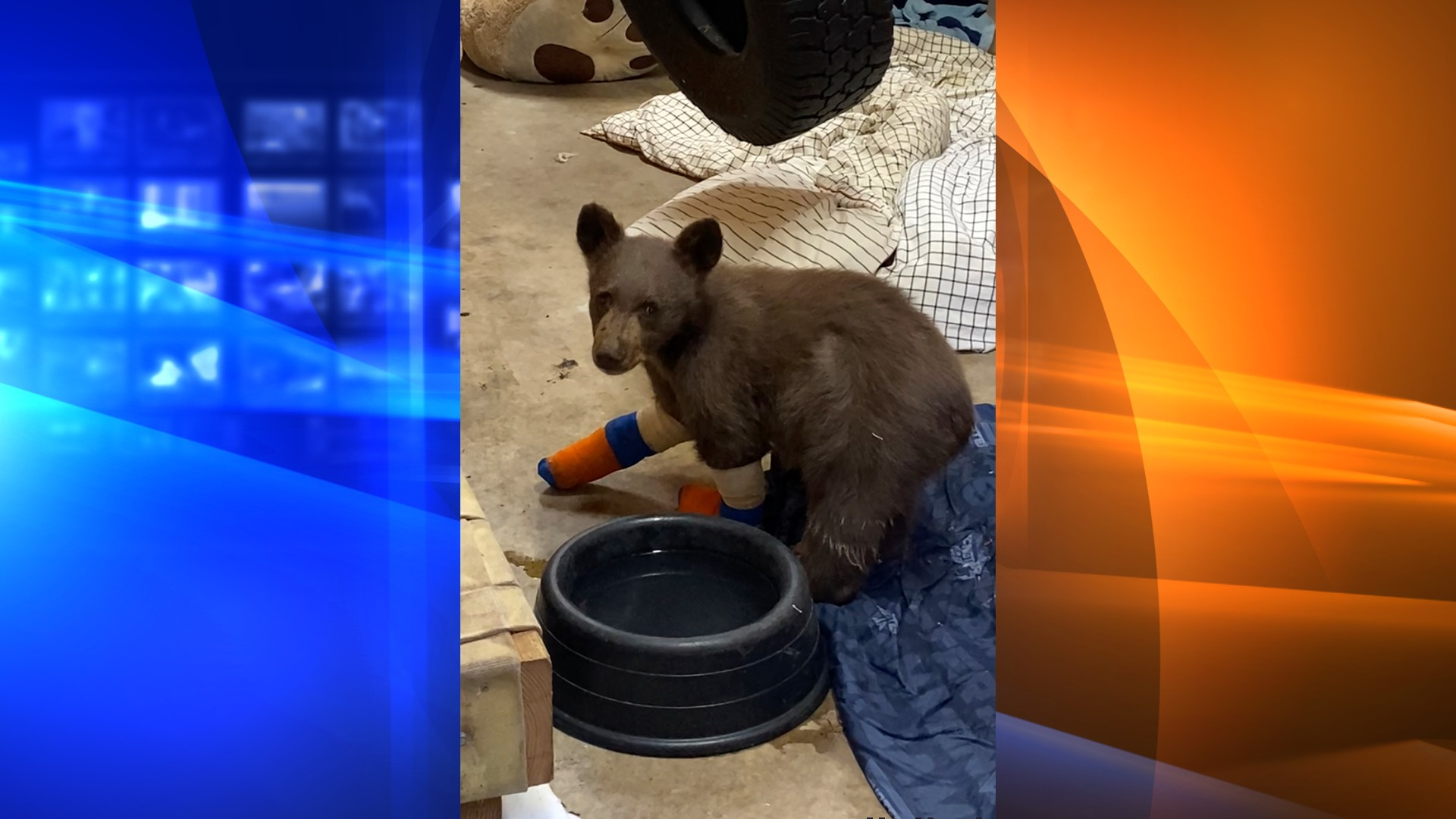 In this July 31, 2021, file photo provided by Lake Tahoe Wildlife Care, is a bear cub that was taken in for treatment to Lake Tahoe Wildlife Care in South Lake Tahoe, Calif., after it suffered burns in a California wildfire. Officials at the wildlife center at Lake Tahoe said Thursday, Aug. 5 they're optimistic they can rescue a second time the injured bear cub that escaped from the care facility where he was being treated for burns suffered in a Sierra wildfire after he was spotted clinging to a tree in a mountain forest. (Lake Tahoe Wildlife Care via AP, File)