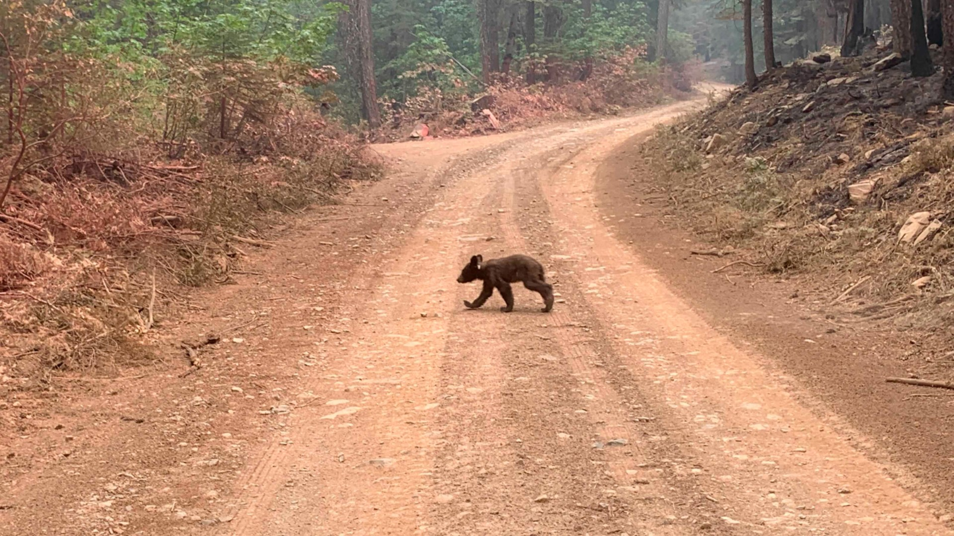 An orphaned bear cub struggles to survive as it walks alone along a mountain road impacted by the Dixie Fire in Plumas County, Calif., Sunday, Aug. 15, 2021. Thousands of Northern California homes remain threatened by the nation's largest wildfire and officials warn the danger of new blazes erupting across the West is high because of unstable weather. (AP Photo/Eugene Garcia)