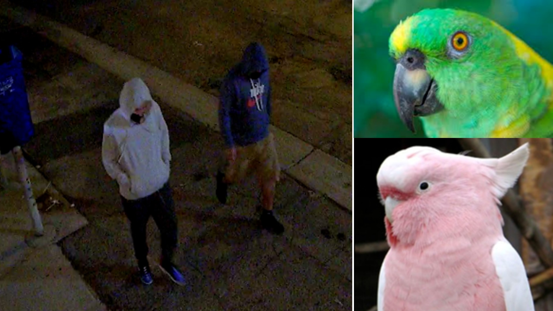 Police are seeking the public's help to locate two exotic birds, Paco and Abbey, who were stolen from Topanga on Aug. 1, 2021. (LAPD)