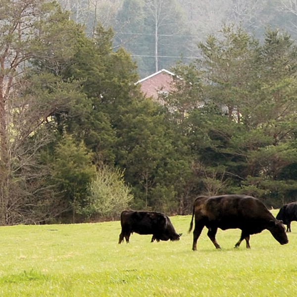 In this March 25, 2016, file photo, cows eat graze in a field at the Townsend Visitor Center in Townsend, Tenn. Despite having some of the lowest COVID-19 vaccination rates in the country, Tennessee isn't planning to offer any incentives for people to get the shot. But it's a different story when it comes to cattle, where the state has reimbursed farmers nearly half a million dollars over the past two years to vaccinate their herds against respiratory and other diseases. (Mark A Large/The Daily Times via AP, File)