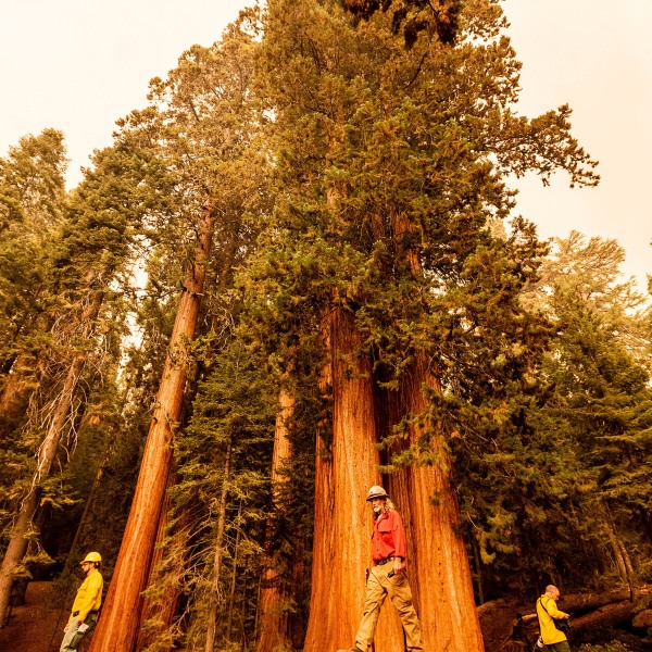 Members of the media walk among sequoia trees in Lost Grove as the KNP Complex Fire burns about 15 miles away on Sept. 17, 2021, in Sequoia National Park. (Noah Berger / Associated Press)