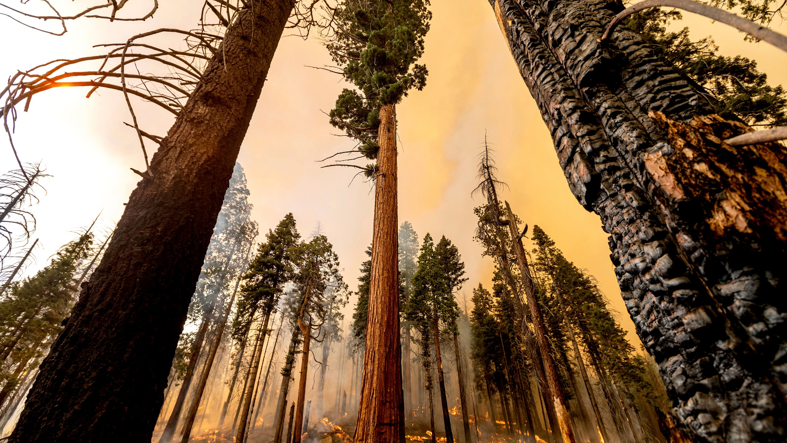 A tree stands in the Trail of 100 Giants grove as flames from the Windy Fire burn in Sequoia National Forest, Calif., on Sunday, Sept. 19, 2021. (AP Photo/Noah Berger)