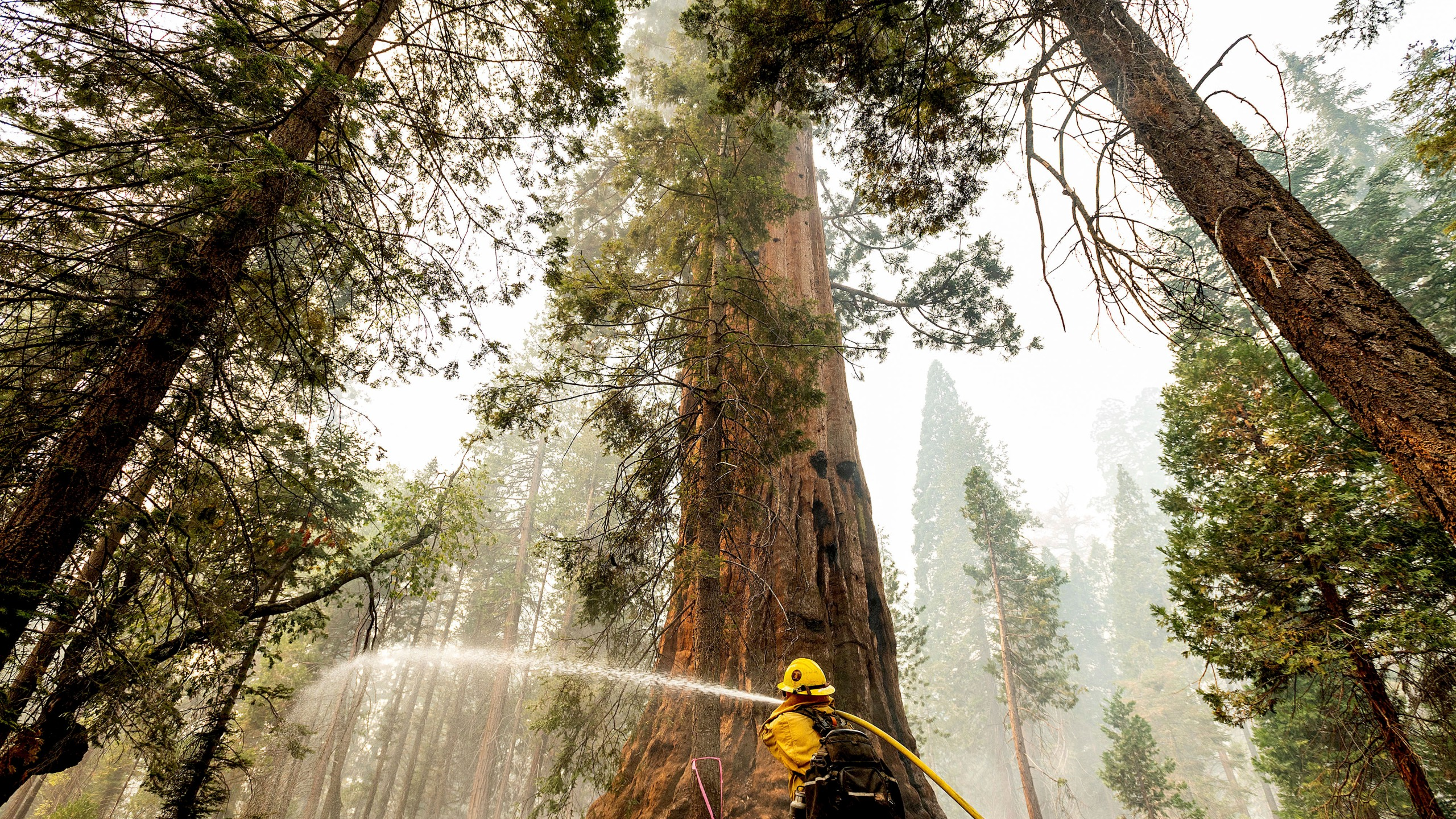 A firefighter hoses down hot spots around a sequoia tree in the Trail of 100 Giants of Sequoia National Forest, Calif., as the Windy Fire burns on Sept. 20, 2021. According to firefighters, the tree sustained fire damage when the fire spotted into its crown. (AP Photo/Noah Berger)