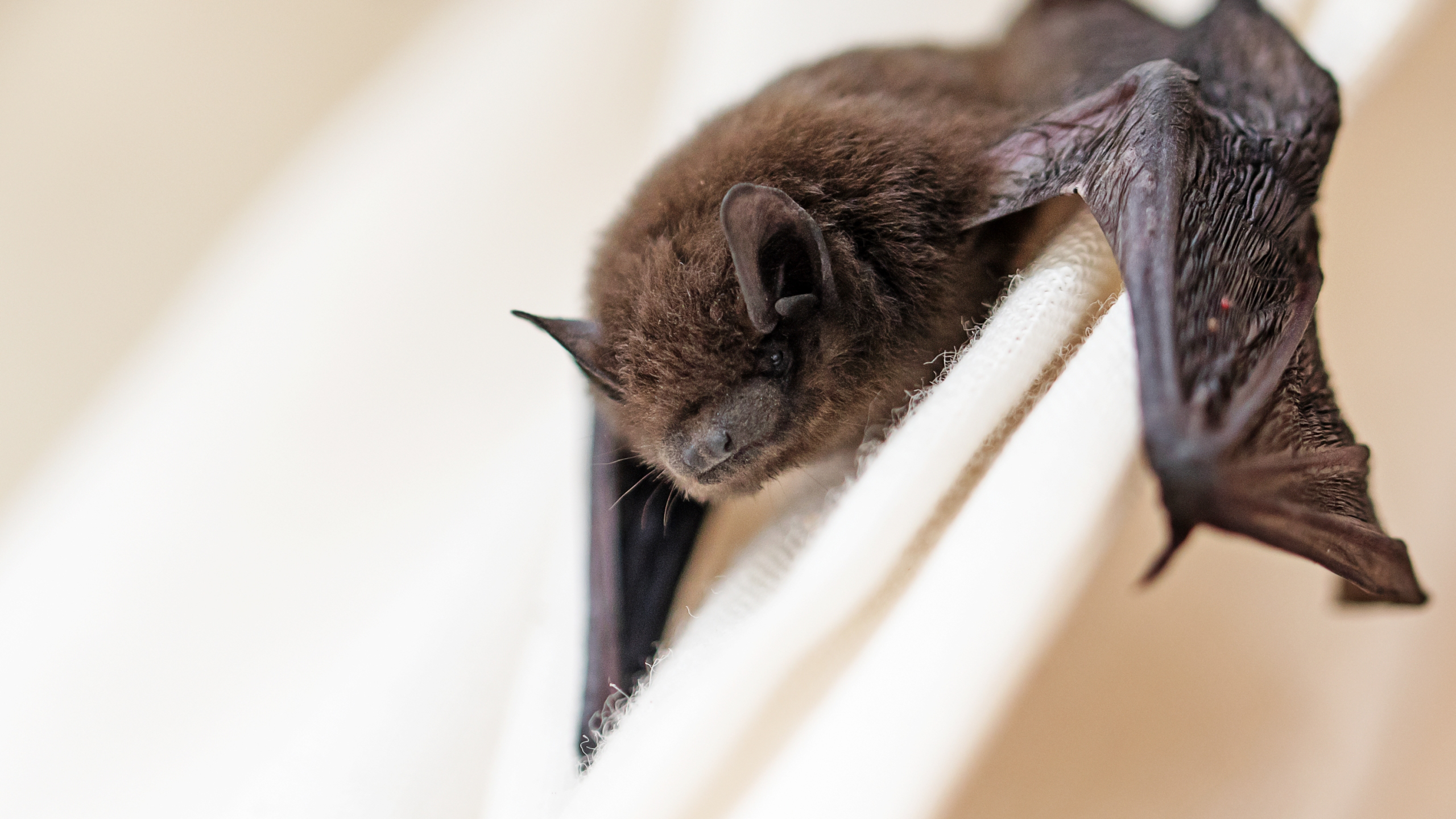 In this file photo, a small bat has strayed into the room and climbs on a white curtain. (iStock/Getty Images Plus)