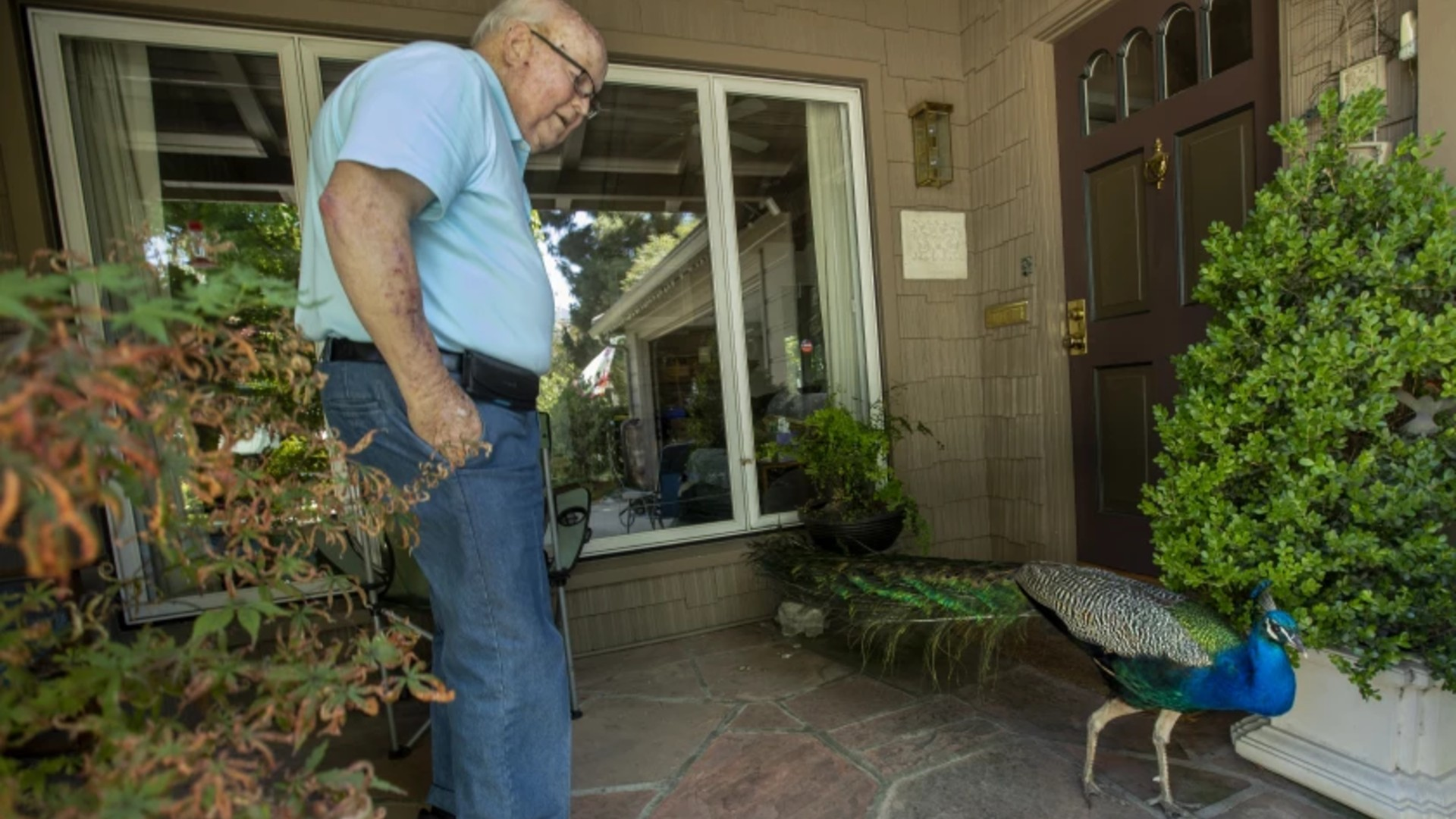 """Pasadena resident John Wickham greets a male peacock nicknamed """"Charlie,"""" who is a regular visitor.(Mel Melcon / Los Angeles Times)"""