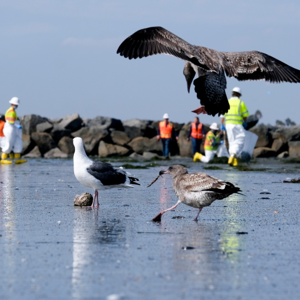 Birds are seen as workers in protective suits clean the contaminated beach after an oil spill in Newport Beach on Oct. 6, 2021. (Ringo H.W. Chiu / Associated Press)