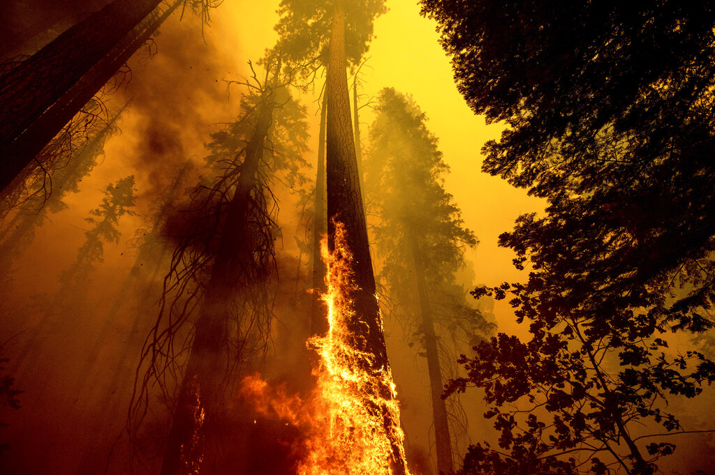 In this Sunday, Sept. 19, 2021 file photo, Flames burn up a tree as part of the Windy Fire in the Trail of 100 Giants grove in Sequoia National Forest, Calif. (AP Photo/Noah Berger, File, File)