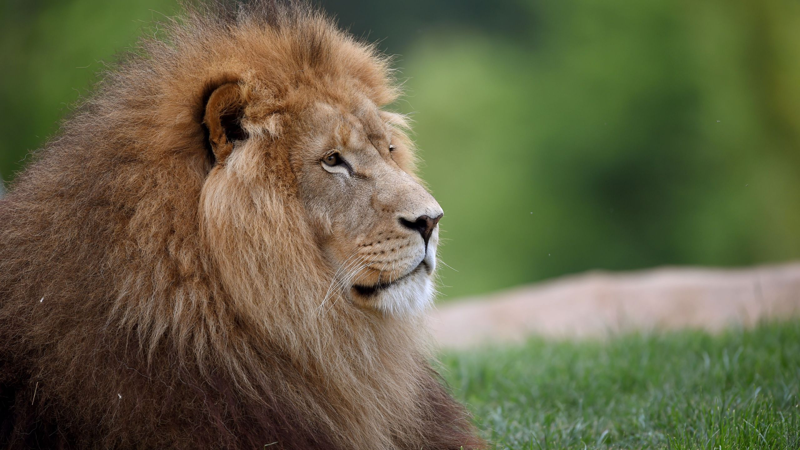 An African lion is seen in a file photo. (GUILLAUME SOUVANT/AFP via Getty Images)