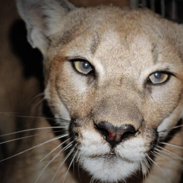 Mountain lion P-99 is seen in a photo released by the National Park Service.