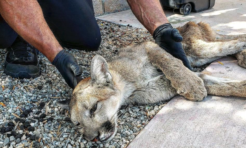 The Palm Springs Police Department shared this image of a mountain lion captured in a condo complex on Oct. 18, 2021.
