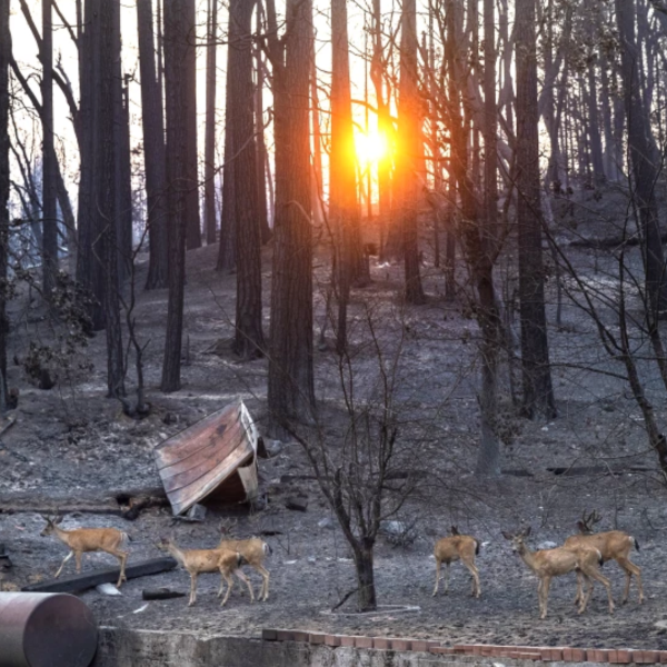 Deer walk through a burn scar from the Dixie fire in the Greenville area. Officials are concerned about debris flows from heavy rainfall in Northern California Thursday evening through Friday morning.(Mel Melcon / Los Angeles Times)