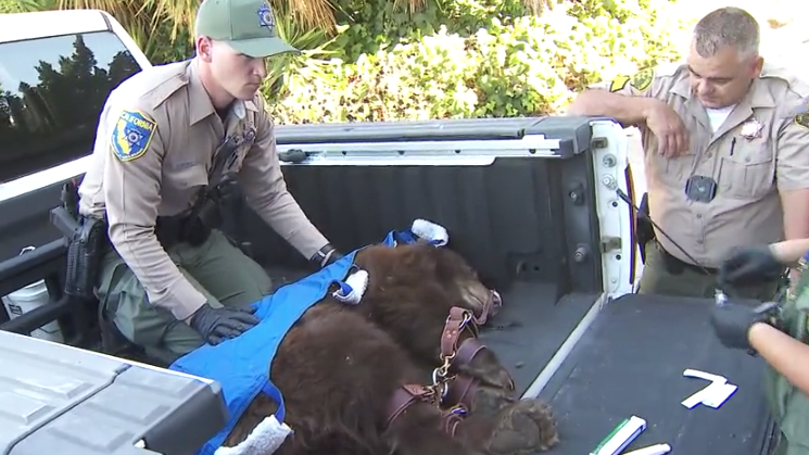 A female bear is tagged after being tranquilized in a San Dimas neighborhood on Oct. 27, 2021. (KTLA)