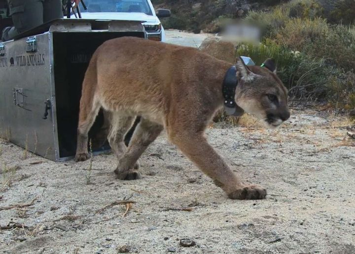 The adult female mountain lion can be seen in an undated photo posted on the CA Department of Fish and Wildlife Facebook page.